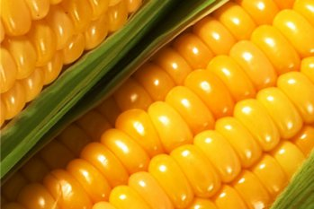 IMC agroholding harvests almost 610,000 tonnes of corn