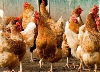 MHP boosts poultry sales by 9% in Q1