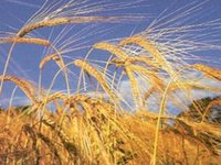 Grain harvest in Ukraine could total 59.1 mln tonnes in 2015 – ministry