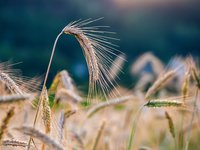 Economy Ministry predicts grain harvest in Ukraine at 75.1 mln tonnes